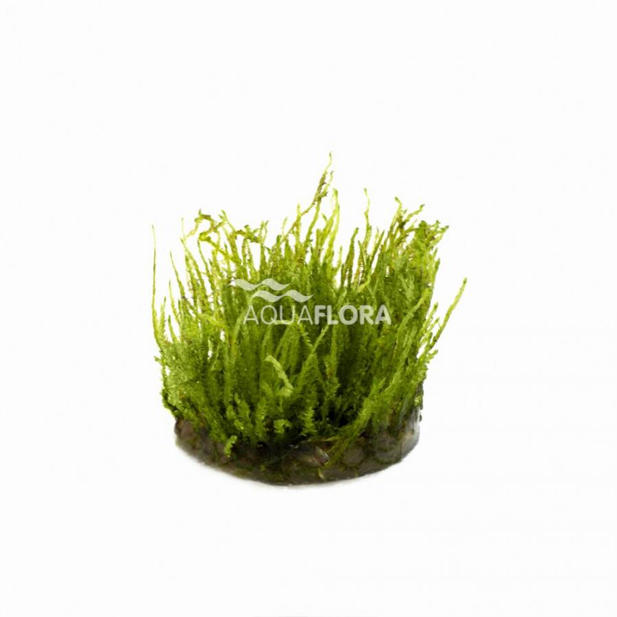 Vesicularia species (Creeping Moss) - In Vitro Cup