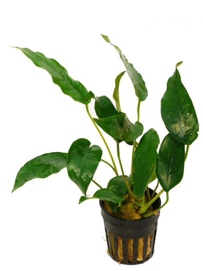 Anubias  Species Short & Sharp