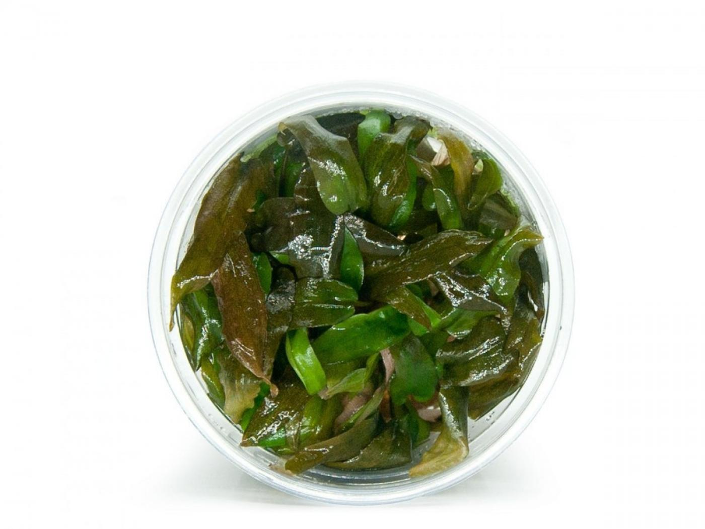 CRYPTOCORYNE WENDTII Brown - In Vitro