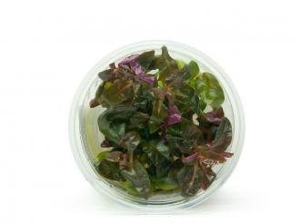 ALTERNANTHERA Reineckii LILACINA SP. PURPLE - In Vitro