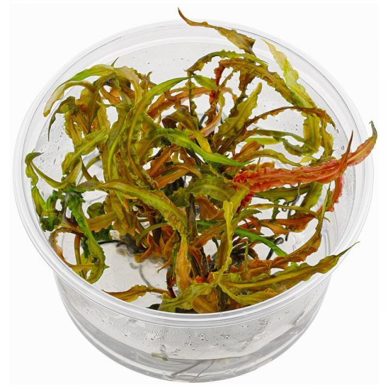 CRYPTOCORYNE CRISPATULA - In Vitro